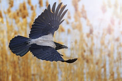 Hooded crow with open wings with sunny hotspot Stock Photos