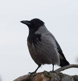 Hooded crow over the grey sky. In the city Stock Images