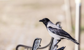 Hooded Crow on a Park Bench (Corvus corone) Stock Images