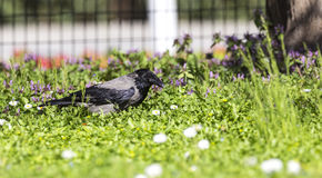 Hooded Crow in A Park (Corvus corone) Royalty Free Stock Image