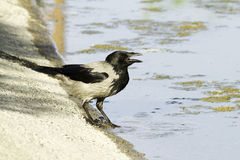 Hooded Crow portrait Royalty Free Stock Images