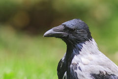 Hooded crow Portrait Royalty Free Stock Photography