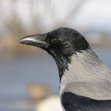 Hooded Crow in Profile Closeup. A closeup shot of a hooded crow - square image Royalty Free Stock Photography