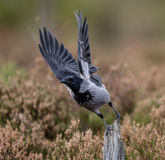 Hooded crow with raised wings taking off from its post Royalty Free Stock Photo