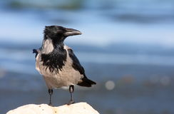 Hooded Crow on rock Royalty Free Stock Photo