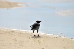 Hooded crow Stock Image