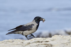 Hooded Crow Stock Photography