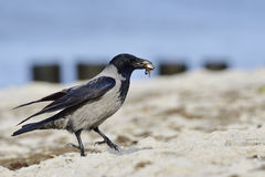 Hooded Crow Stock Photos
