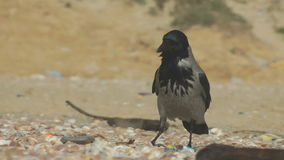 Hooded crow stock video footage