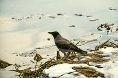 Hooded crow sits on the river bank. Corvus cornix royalty free stock photography
