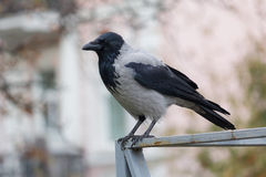 Hooded crow sitting on the fence Stock Photo
