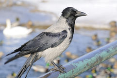 Hooded Crow Sitting on Rail Stock Images