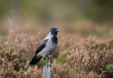 Hooded crow sitting on stump tree with autumn color background Stock Images