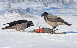 Hooded Crow on snow Stock Images
