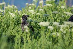 Hooded crow standing on field Royalty Free Stock Photography