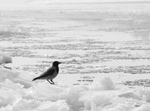 Hooded crow standing on ice blocks Royalty Free Stock Photography