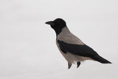 Hooded Crow Royalty Free Stock Photography