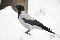 Hooded crow standing on the white snow Stock Photography