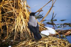 Hooded crow stands in the thickets of dry sedge on the bank of the river. Corvus cornix royalty free stock photo