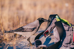 Hooded crow stealing food from the bag Royalty Free Stock Images