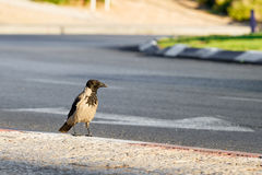 Hooded crow on street Stock Images