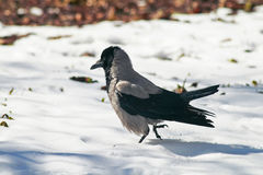 Hooded crow strong paces around the deep white snow Stock Photography