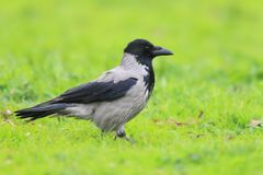 Hooded crow in Turkey royalty free stock photo