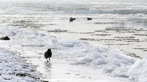 Hooded crow walking at bank of a river Stock Photo