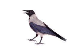 Hooded crow on white background Stock Photos