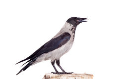 Hooded crow on white background Royalty Free Stock Images