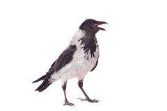 Hooded crow on white background. Hooded crow, Corvus cornix, isolated on the white background Royalty Free Stock Photography