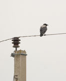 Hooded Crow on the wire Stock Photography