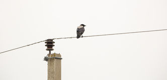 Hooded Crow on the wire Royalty Free Stock Image