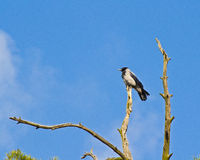 Hooded crow on withered pine Royalty Free Stock Photos