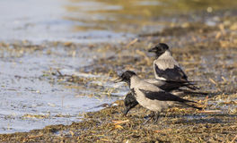 Hooded Crows Royalty Free Stock Photo