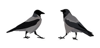 Hooded crows. Vector isolated images Stock Image