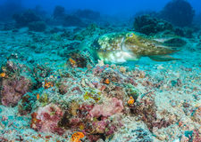 Hooded Cuttlefish on a coral reef Royalty Free Stock Image