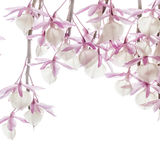 Hooded Dendrobium Royalty Free Stock Image
