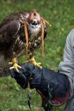 Hooded Falcon Royalty Free Stock Photos