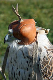 Hooded Falcon Stock Image