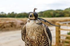 Hooded Falcon. A Falcon wearing a hood keeping calm but alert to the job of scaring seagulls and nuisance bird away from operating machinery Royalty Free Stock Photography