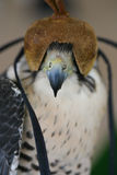 Hooded Falcon. At a falconry competition in Dubai, UAE Stock Photography