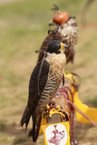 Hooded falcon - festival Indian Native Stock Images