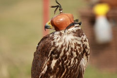 Hooded falcon-festival Indian Native Royalty Free Stock Photography