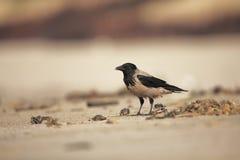 hooded galande Corvuscornix Mitt--storleksanpassad fågel Det är spridning genom hela Europa Royaltyfri Bild