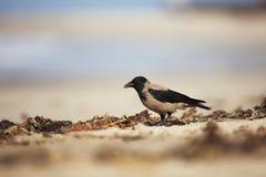 hooded galande Corvuscornix Mitt--storleksanpassad fågel Det är spridning genom hela Europa Arkivbilder