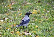 hooded galandegräs En fågel av familjcorvidaen Royaltyfri Bild