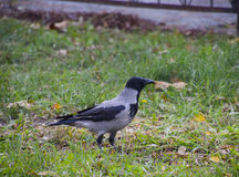 hooded galandegräs En fågel av familjcorvidaen Arkivbilder