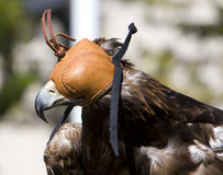 Hooded Golden Eagle Royalty Free Stock Image
