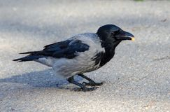 Hooded grey crow Stock Photography